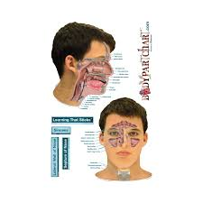 Sinus Chart Sinuses Labeled Body Part Chart Removable Wall Graphic