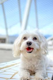 maltese dog. maltese dog breed information pictures characteristics \u0026 facts - o