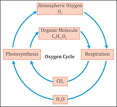 Carbon Cycle Flow Chart How Do Carbon And Oxygen Cycle Through An Ecosystem Socratic