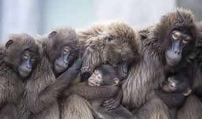 What Is Idaho Known For I Shot A Whole Family Of Baboons Idaho Fish And Game Official