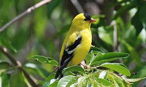 Out My Backdoor: Goldfinches Brighten Backyards in Summer ...