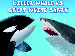 killer whale vs great white shark size comparison. Unique Comparison Killer Whale Vs Great White Shark Teaching Guide  Scholastic With Vs Size Comparison