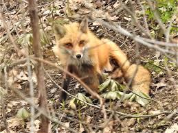 Fox1 Photograph by Arlene Butcher