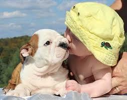 white baby english bulldog. Fine Baby ADDING A BABY U0026 ENGLISH BULLDOGS WITH CHILDREN On White Baby English Bulldog