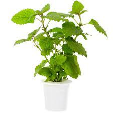 and grow lemon balm refill for smart herb garden 3 pack