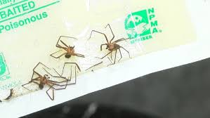 pest control amarillo tx. Beautiful Pest Pest Control Companies Battling More Brown Recluse Spiders In Amarillo  Homes  KVII For Control Tx