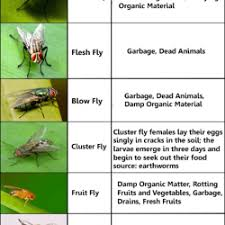 Common Fly Identification Chart Visual Ly