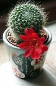 Las plantas suculentas o crasas son aquellas en las que tallo , la raiz o  las
