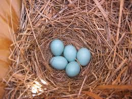 mountain bluebird nest with eggs