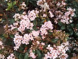 Shrubs  Dooley Landscape Designs AlbuquerqueShrub With Pink Flowers