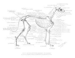 Pin By Nancy Capuano On Grayhounds Dog Anatomy Dog