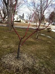 dogwood tree dying