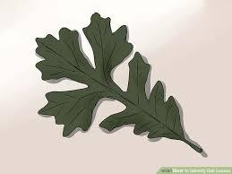 3 Ways To Identify Oak Leaves Wikihow