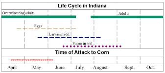 Corn Flea Beetle Corn Flea Beetles Pests Corn Integrated Pest