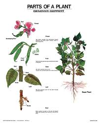 Parts Of A Plant Wall Chart Unmounted Amazon Com