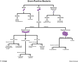 Microbiology Gram Positive Cocci Flow Chart Staphylococcus