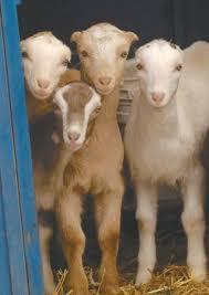 The Goats Of Lamancha Business Billingsgazette Com