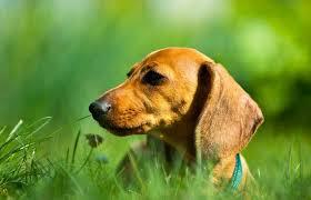 miniature dachshund rescue lovetoknow