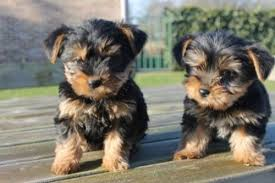 cute yorkie puppies for sale.  For 2 Clean Adorable Yorkie Puppies For Adoption And Cute Sale