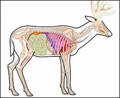Deer Vitals Chart Vitals And Bones Anatomy For Shot Placement Hunting Tips