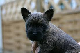 small hypoallergenic dog breeds terriers