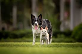 Dog Breed Compatibility Chart How To Determine Compatibility Of A Second Dog