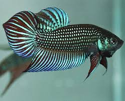 Ciri-Ciri Ikan Cupang Aduan Terganas