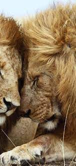 Lion Couple Hd Wallpaper