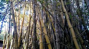 bamboo forest in kwazulu natal
