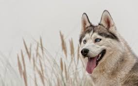 siberian husky wallpaper. Fine Siberian HD Wallpaper  Background Image ID534557 In Siberian Husky I