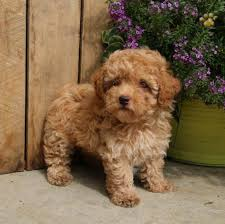 toy poodle puppies female