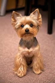 yorkshire terrier haircuts. Fine Yorkshire Yorkshire Terrier Haircut Inside Yorkshire Terrier Haircuts E