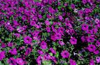violet-flowered petunia