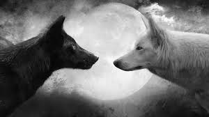 white wolf and black wolf fighting. Plain Wolf Two Wolves  Native American Legends Video To White Wolf And Black Fighting A