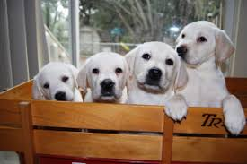 retriever puppies white english lab pups