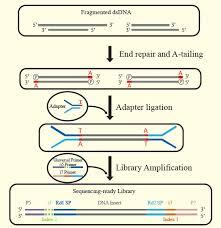 Illumina Sequencing Flow Chart Transngs Dna Library Prep Kit For Illumina 1 Ng 1 Ug Kp201 Civic Bioscience