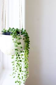 Indoor plants with bead-like leaves, string of pearls are usually planted  in hanging baskets. The string of pearls indoor plants grows well in bright  light.