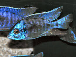 Peacock Cichlids Facts About Lake Malawi Aulonocara