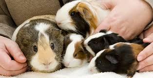Guinea Pigs as Pets | Oklahoma State University