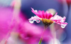 Wallpaper Pink flower macro photography ...