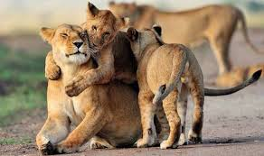 lioness and lion cuddle. Simple And Lioness Cuddles Cub Inside Lioness And Lion Cuddle S