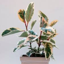 Office feng shui plants Air Feng Shui Indoor Plants Rubber Plant Urban Monk Nutrition 10 Feng Shui Indoor Plants To Spruce Up Your Interior Decor