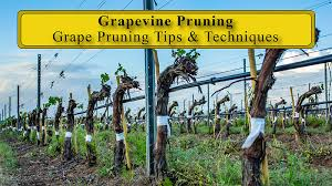 Pruning Your Grapes The Total Wine System