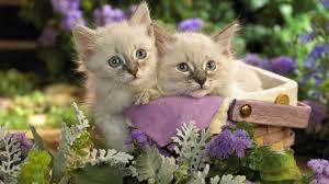 cats hd wallpapers free