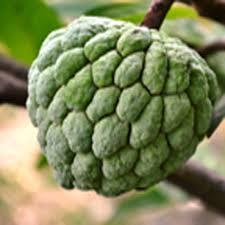Taste Of Kerala U2013 Bilimbi Fruits  La Paz GroupKerala Fruit Trees