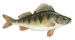 Разнообразие костистых рыб Промышленные рыбы Скумбрия обыкновенная распространена в Чёрном море Ставрида обыкновенная и черноморская встречаются в Чёрном и Азовском морях