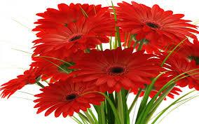 Red Flower Wallpaper Margaridasgerberas Bouquet Of Red Flowers Wallpaper Hd