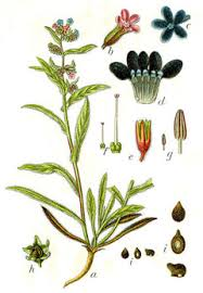 Anchusa officinalis Alkanet, Common bugloss PFAF Plant Database