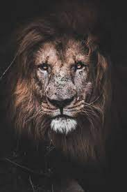 Lion iPhone Wallpapers - Wallpaper Cave