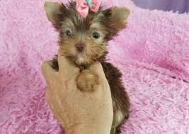 teacup yorkie puppies for adoption. Perfect Teacup FEMALE TEACUP YORKIE PUPPIES FOR ADOPTION Throughout Teacup Yorkie Puppies For Adoption E
